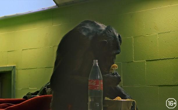 Фестиваль 360: Комплекс шимпанзе