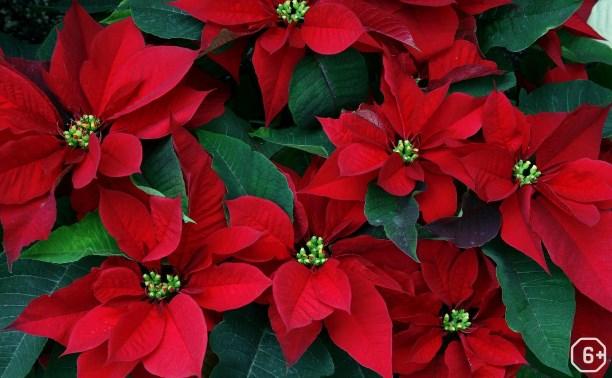 Пуансеттия – Рождественская звезда