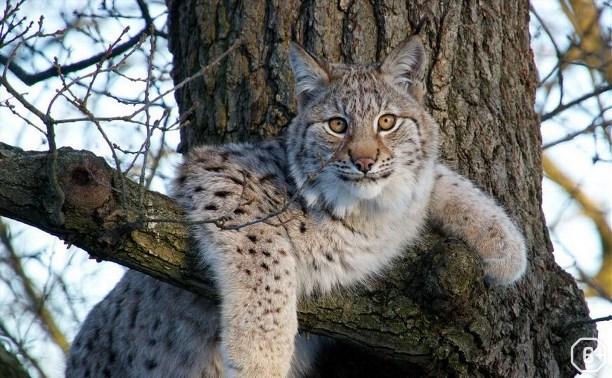 Рысь – самая северная кошка, живущая в природе