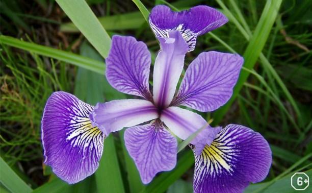 Куликово полеведение: Ирис – цветок Ириды