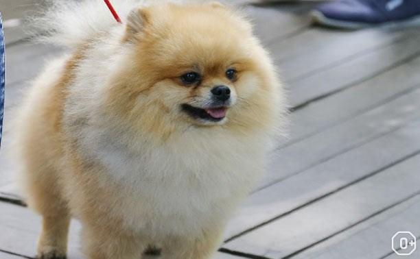 Региональная выставка собак и выставка шпицев