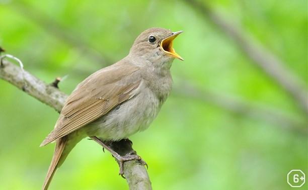 Пернатые исполнители. Из жизни птиц