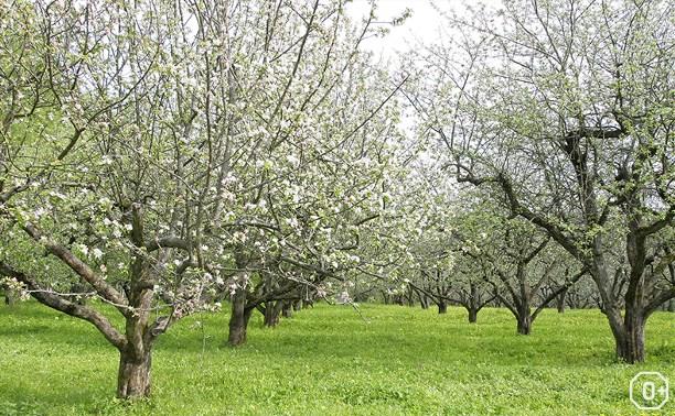 Яблоня Толстого в твоем саду