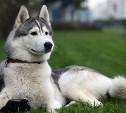 В Туле пропала собака породы хаски