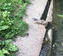 Крысы на дорожке в Глобус