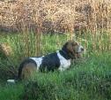 В Заречье пропала собака бассет-хаунд