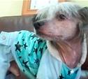 Найдена китайская хохлатая собака