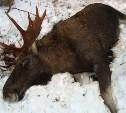 В Щекино сбили лося