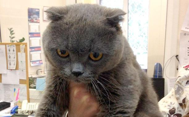 Найден шотландский вислоухий кот