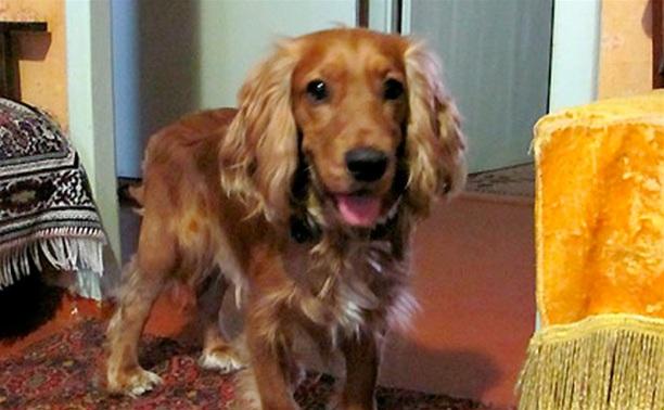 Пропала собака кокер спаниель