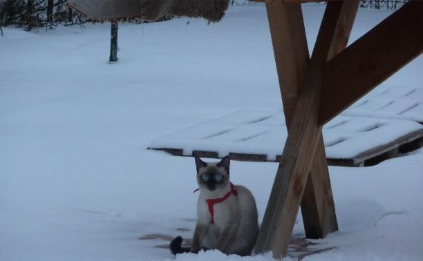 В Октябрьском поселке пропал кот