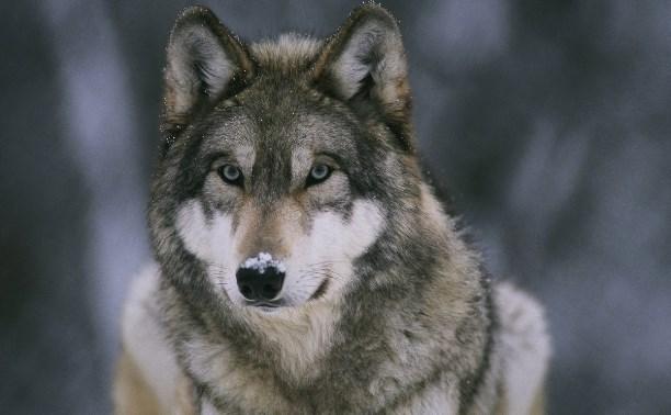 День Волка