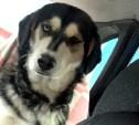 Собаке-метису хаски срочно нужен дом