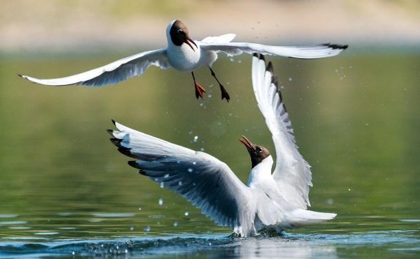 Тульские чайки: 35 красивых и забавных фото
