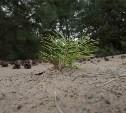 Высадка деревьев. Сосны.