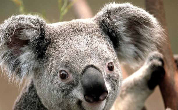Австралиец в Туле