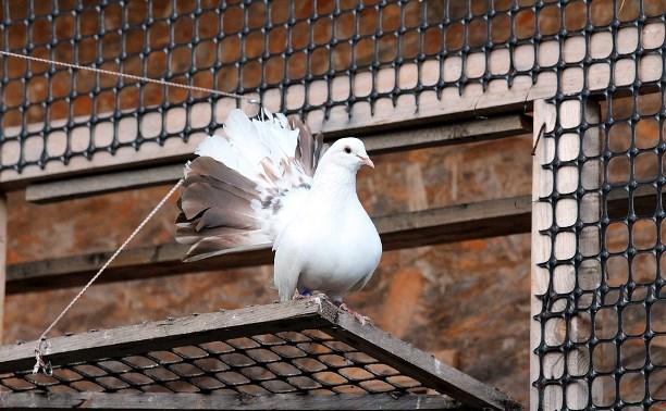 Кто потерял белых голубей?
