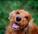 Голосуем за рыжих собак