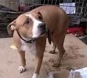 Найдена недавно ощенившаяся собака-стаффорд