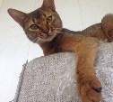 Пропал абиссинский кот. Нашедшему - вознаграждение!