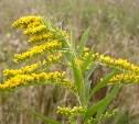 В Туле распространяется опасное растение - золотарник канадский