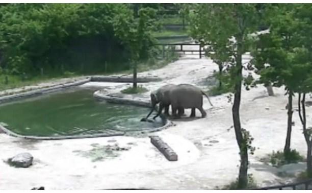 Чудесное спасения слонёнка его родителями