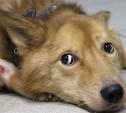 Собаку держали на цепи в комнате 2 года, морили голодом и били