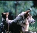 О поэзии по-волчьи #2