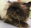 В Пролетарском районе найден персидский кот