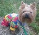 Пропала собака: йоркширский терьер Кнопа