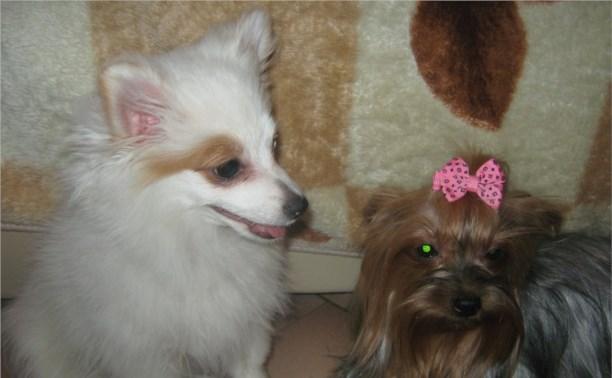 Помогите найти Собаку Шпиц. Она была подарена ребёнку инвалиду на её 10 летие.
