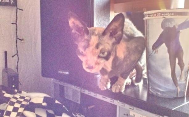 Срочно! Найдена кошка породы сфинкс