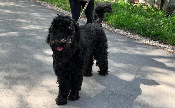 В Туле найдена собака. Ищем хозяина!