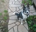 На Косой Горе найдена собака породы хаски