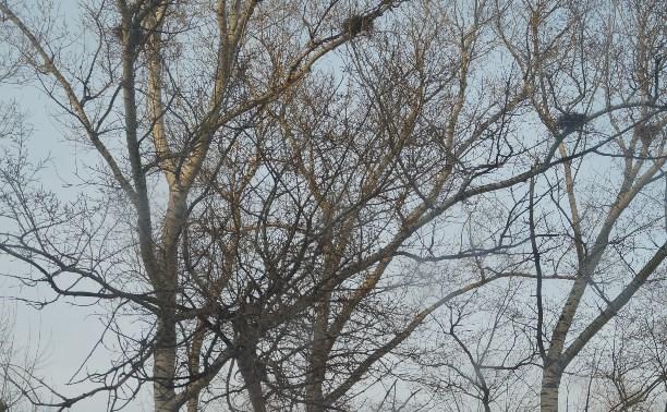 В Туле на Красноармейском проспекте падают опасные деревья