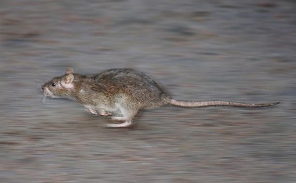 Крыса на проспекте Ленина