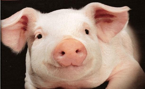 О Соседях и свиночеловеках...