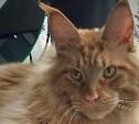 Разыскивается рыжий кот