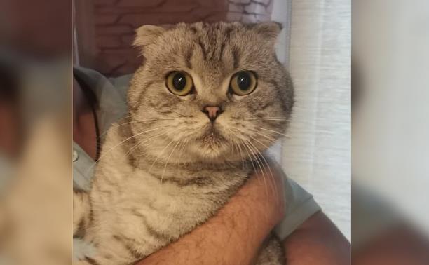 Хороший, крупный, здоровый: кот-шотландец в добрые руки