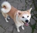 В Туле пропала собака акита-ину