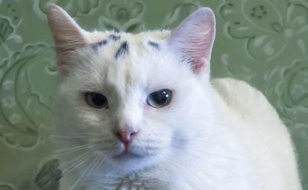 Ласковая кошка Белочка поселится у добрых людей
