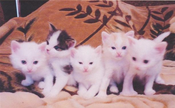 Ангорские котята в поиске хозяев