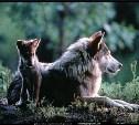 О поэзии по-волчьи #1