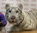 Цирк «Максимус»: В Туле поселились белые тигры