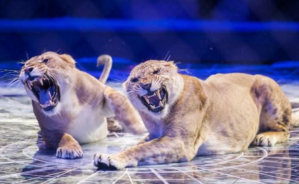 В Тульском цирке выступают 15 диких кошек, а медведи катаются на лошадях