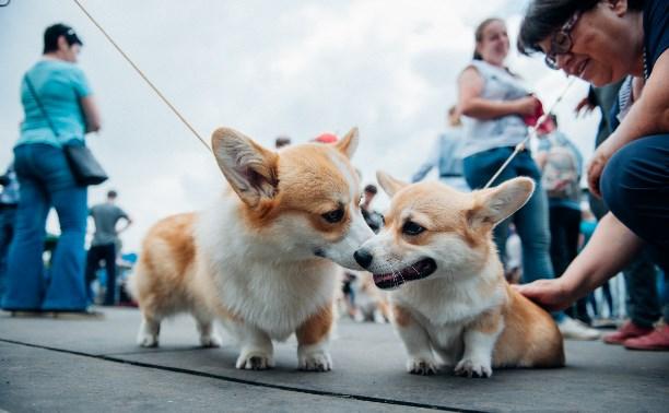 Всероссийская выставка собак в Туле: милые корги, сенбернары и забавные джек-рассел-терьеры