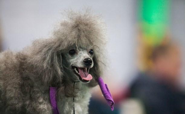 Выставка собак в Туле: большой фоторепортаж
