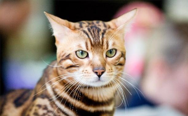 Выставка кошек в Туле: Своенравные сфинксы, огромные мейн-куны и «леопарды»