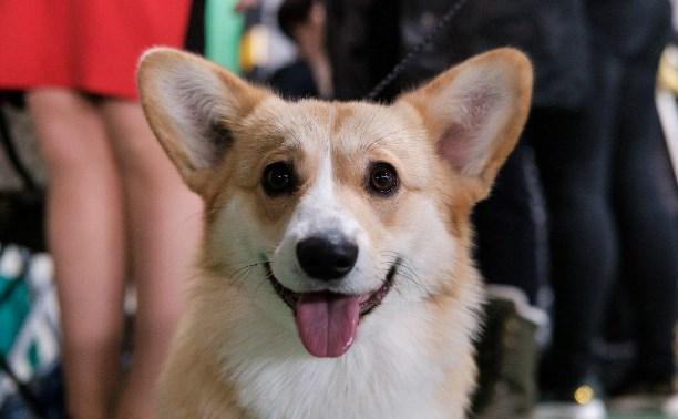 Выставка собак в Туле: белоснежные самоеды, милые корги и мощные алабаи