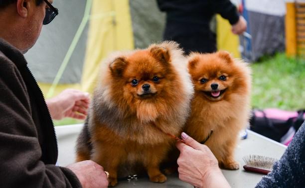 Милые корги, забавные чихуахуа, гордые хаски: в Туле прошла выставка собак